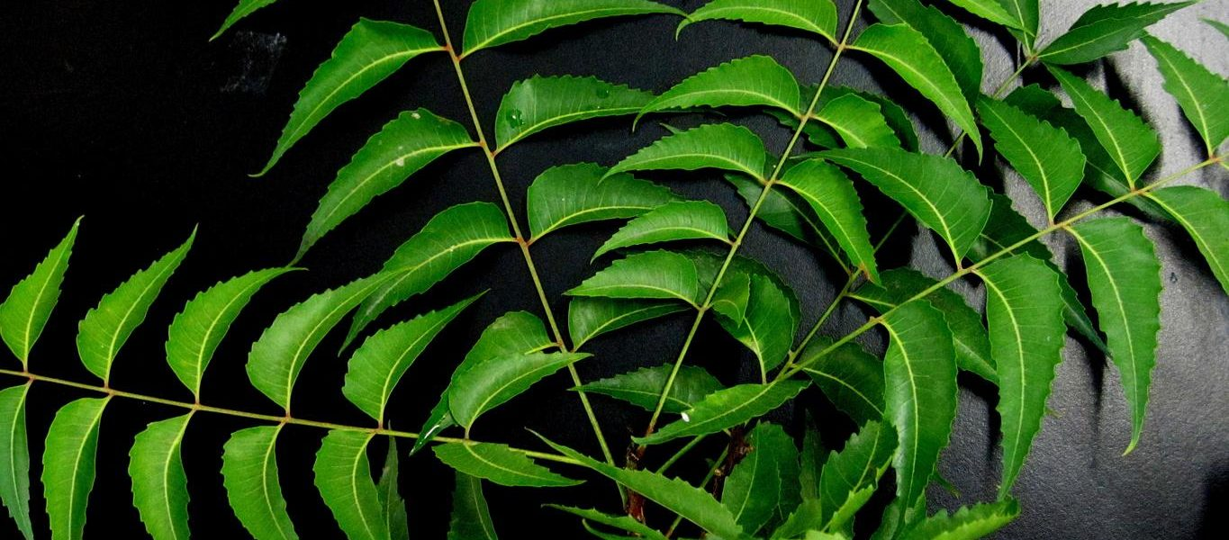 Neem leaves face pack for oily skin